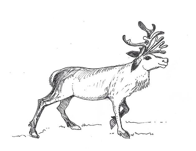 Zeichnung eines Rentiers