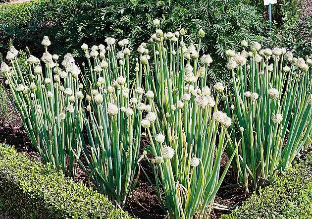 Blühende Zwiebeln aus dem Kräutergarten